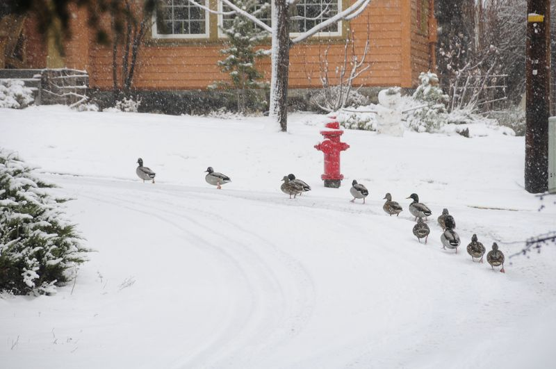 Neighborhood Ducks