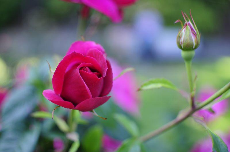 Portland International Rose Garden (1)