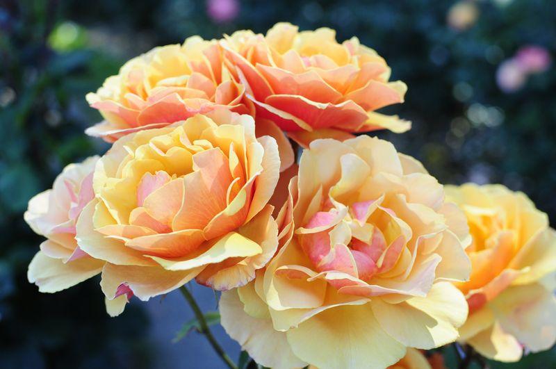 Portland International Rose Garden (7)