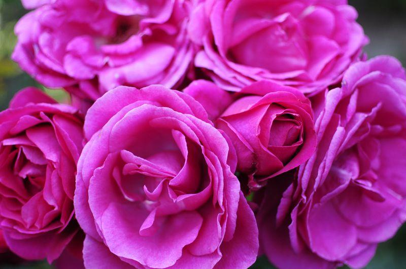 Portland International Rose Garden (2)